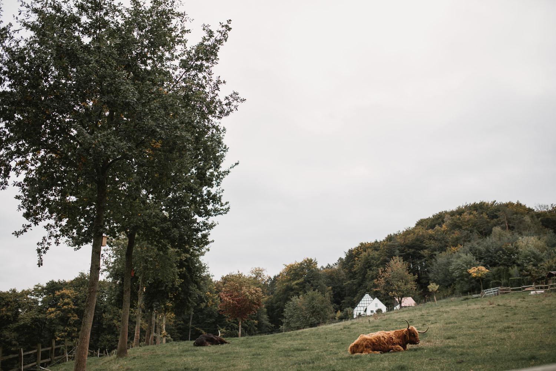 Wiese mit Ochse vor dem alten Kotten. Hochzeit in Oesede.